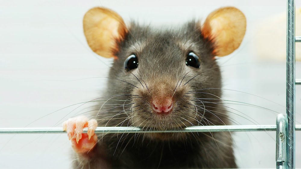 200 million rats will invade homes this autumn  Mail Online